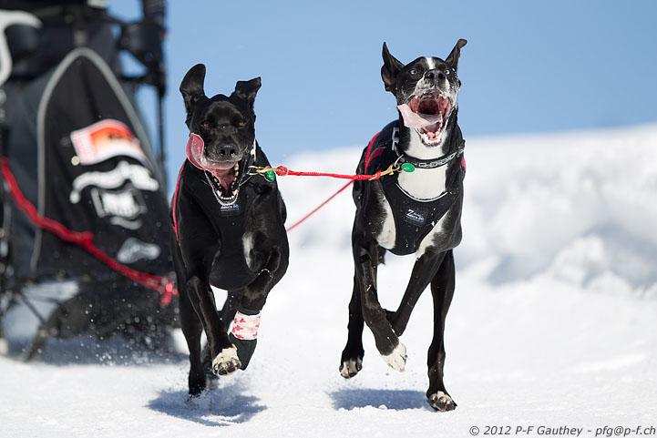 chiens de traineau - les Mosses 2012