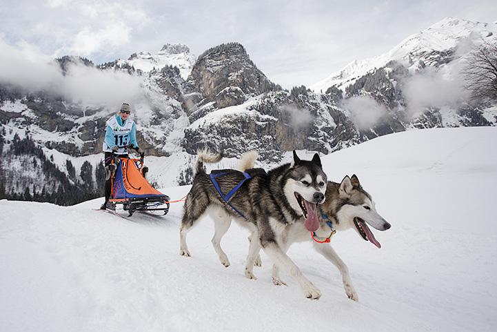 chiens de traîneaux - Kandersteg 2015