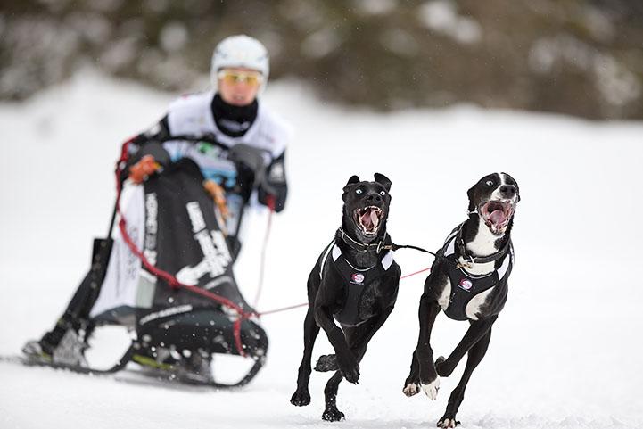 chiens de traîneaux - Kandersteg 2016
